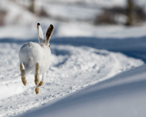 Jack Rabbit playing in Snow